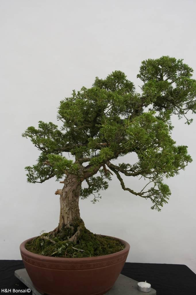 Bonsai Ginepro cinese, Juniperus chinensis, no. 6483