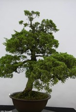 Bonsai Chinese Juniper, Juniperus chinensis, no. 6484