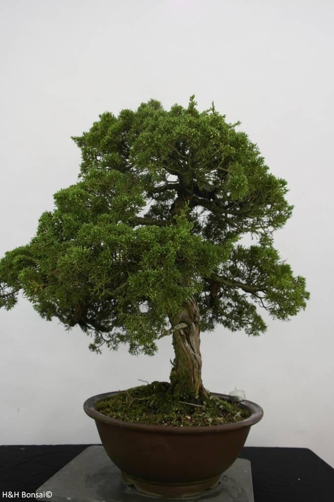 Bonsai Ginepro cinese, Juniperus chinensis, no. 6484