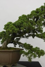Bonsai Ginepro cinese, Juniperus chinensis, no. 6489