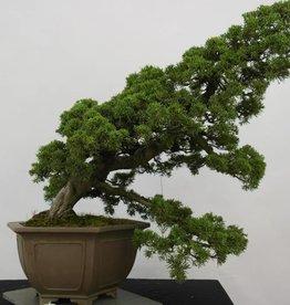 Bonsai Ginepro cinese, Juniperus chinensis, no. 6489