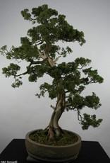 Bonsai Ginepro cinese, Juniperus chinensis, no. 6492