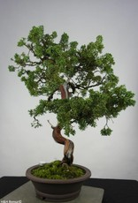 Bonsai Ginepro cinese, Juniperus chinensis, no. 6493
