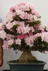 Bonsai Azalea SatsukiGyoten, no. 5710