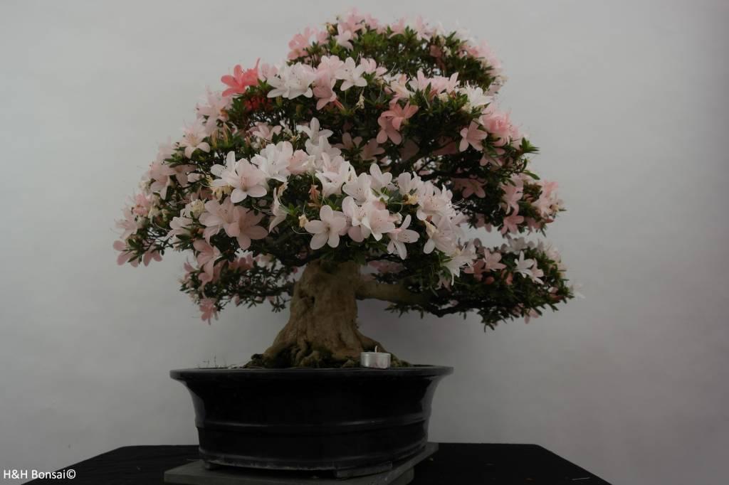 Bonsai Azalea Satsuki, no. 5877