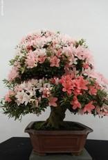 Bonsai Azalea Satsuki, no. 5679