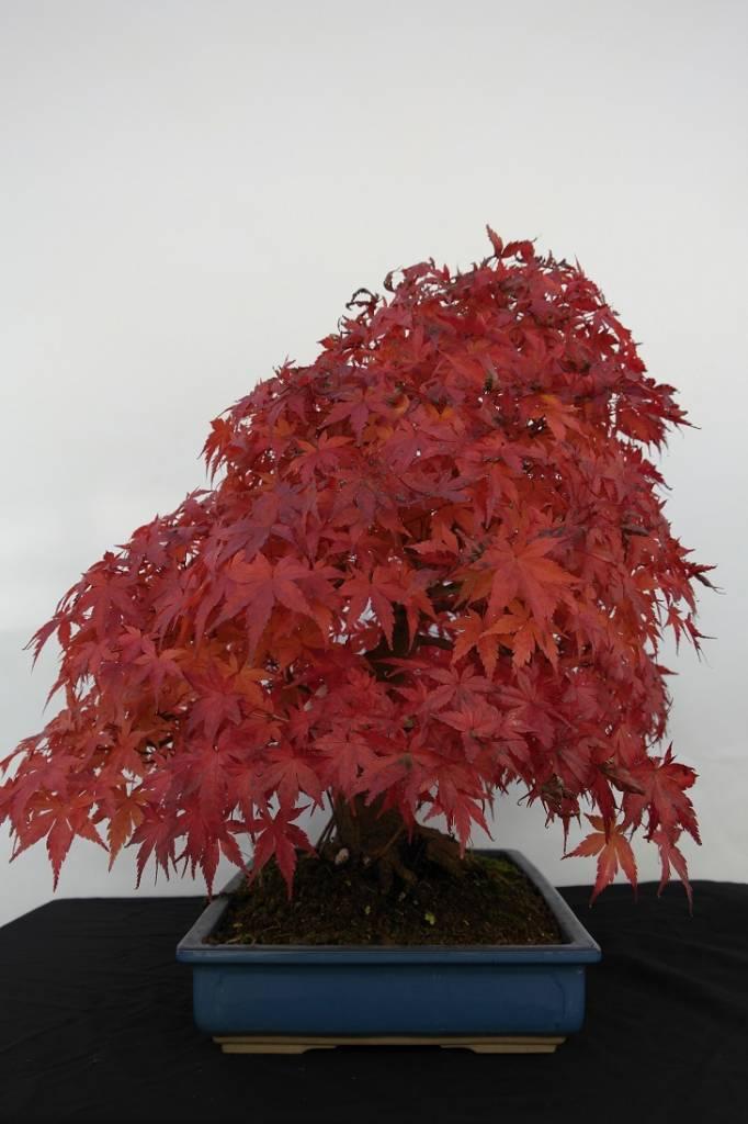 Bonsai Acero palmato, Acer palmatum, no. 5509
