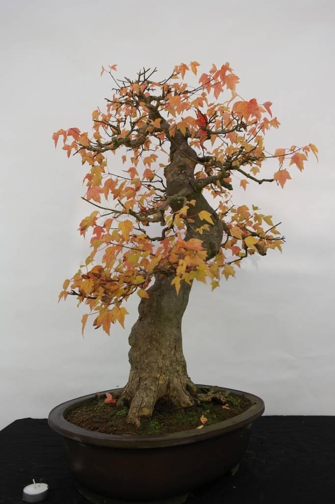 Bonsai Acero tridente, Acer buergerianum, no. 5114