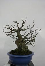 Bonsai Melo sieboldii, Malus sieboldii, no. 5105