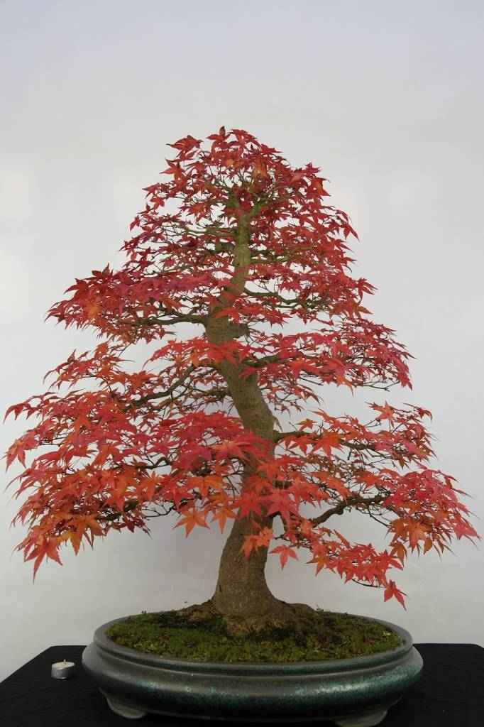 Bonsai Japanese Red Maple Acer Palmatum Deshojo No 5231 Www