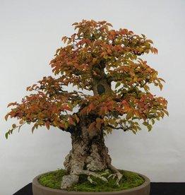Bonsai Carpino coreano, Carpinus coreana, no. 5229