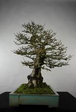 Bonsai Carpino coreano, Carpinus coreana, no. 5135