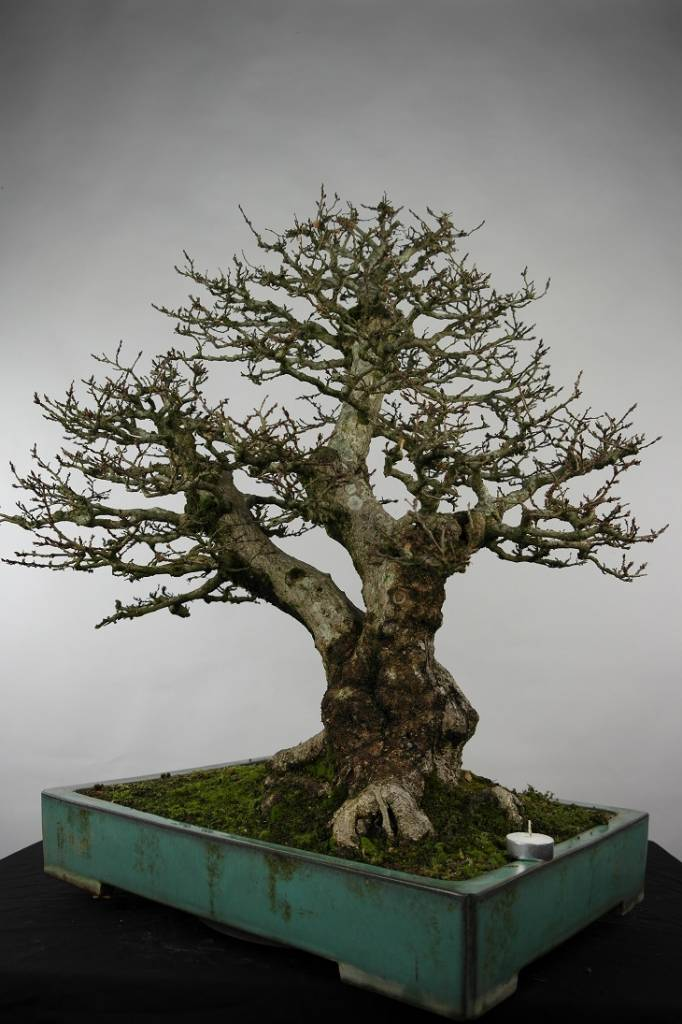 Bonsai Korean Hornbeam, Carpinus coreana, no. 5135