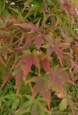 Bonsai Acero palmato, Acer palmatum, no. 5521