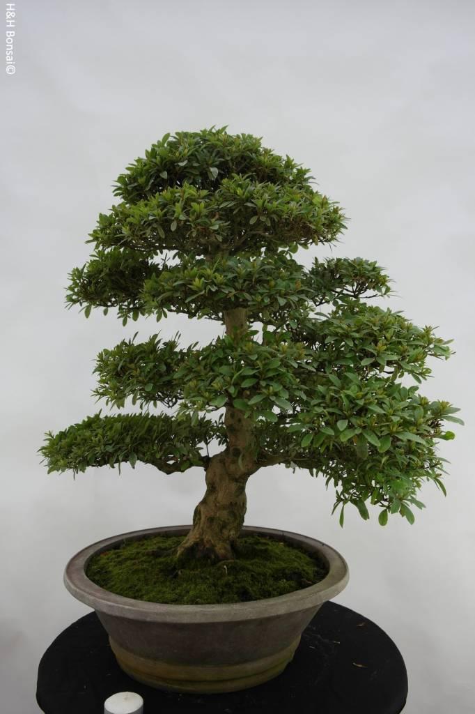 Bonsai Azalea SatsukiSaiko, no. 5695