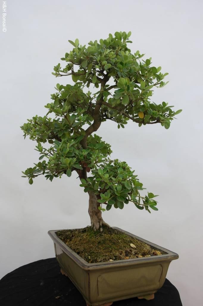 Bonsai Azalea Satsuki Kunpu, no. 5943