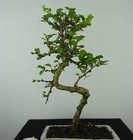Bonsai Pianta del tè, Carmona macrophylla, no. 6559