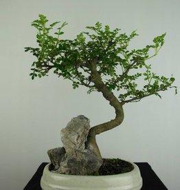 Bonsai Albero del pepe, Zanthoxylum piperitum, no. 6666