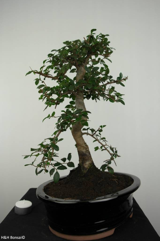 Bonsai Elm, Ulmus, no. 6687