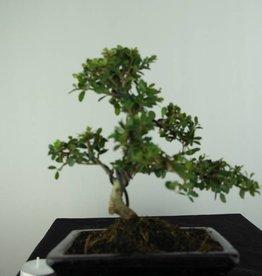 Bonsai Ilex crenata, no. 6753