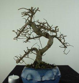 Bonsai Olmo cinese, Ulmus, no. 6758