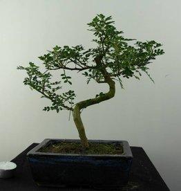 Bonsai Albero del pepe,Zanthoxylum piperitum, no. 6841