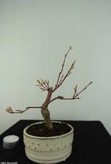 Bonsai Japanese maple, Acer Palmatum, no. 6894