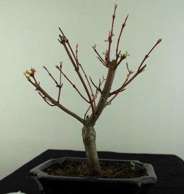 Bonsai Acero palmato, Acer Palmatum, no. 6937