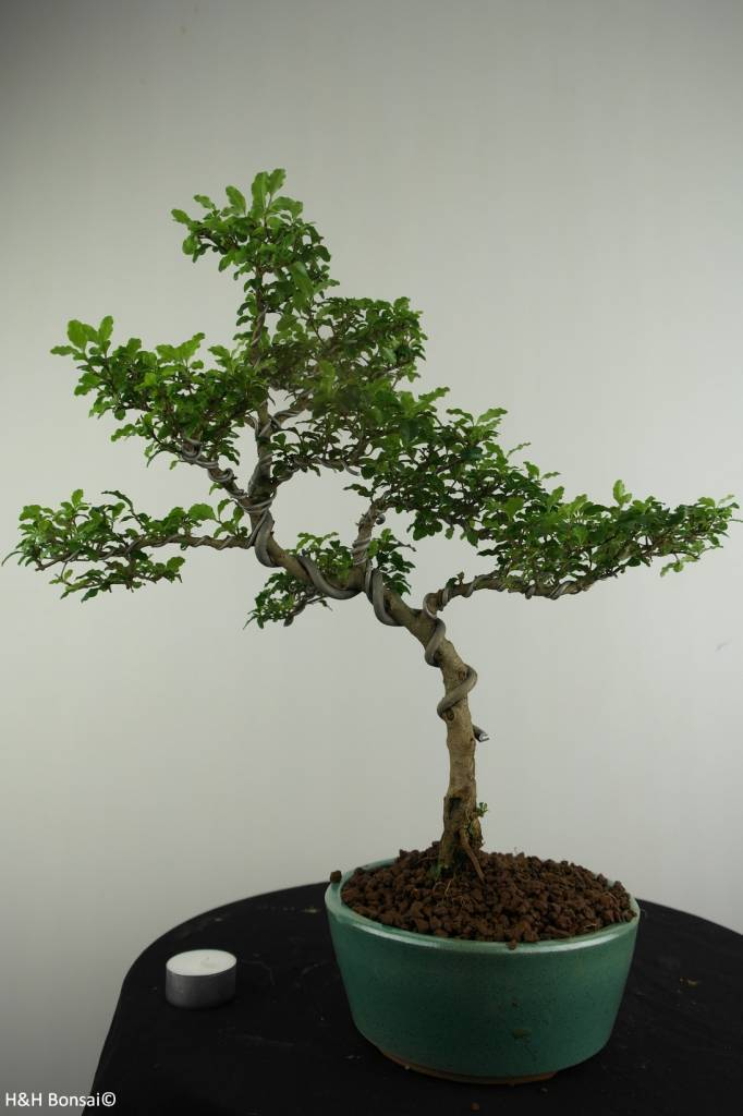 Bonsai Ligustro, Ligustrum sinense, no. 6988