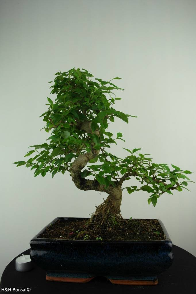 Bonsai Privet, Ligustrum nitida, no. 6991
