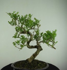 Bonsai Frassino, Fraxinus sp., no. 6701