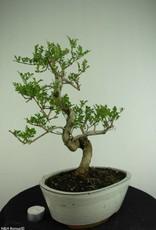 Bonsai Frassino, Fraxinus sp., no. 6729