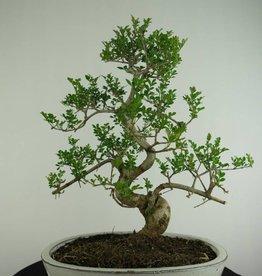 Bonsai Frassino, Fraxinus sp., no. 6730