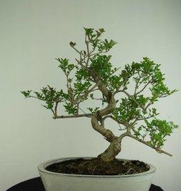 Bonsai Frassino, Fraxinus sp., no. 6732
