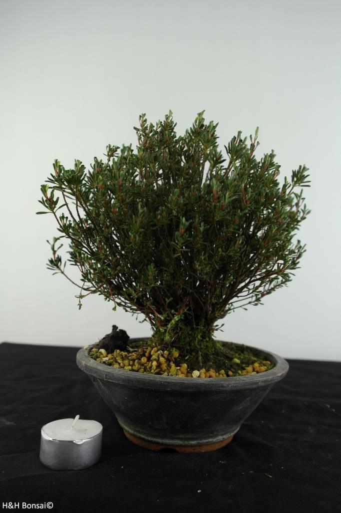 Bonsai Azalea Satsuki, no. 6528