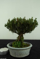 Bonsai Shohin Azalea Satsuki, no. 6529