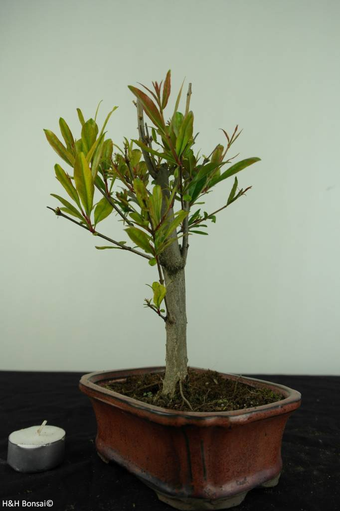 Bonsai Pomegranate, Punica granatum, no. 6922