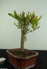 Bonsai Melograno, Punica granatum, no. 6922