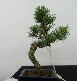 Bonsai Shohin Pino bianco, Pinus pentaphylla, no. 7058