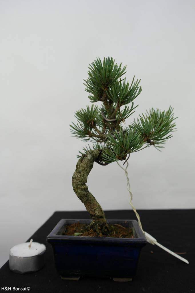 Bonsai Shohin Japanese White Pine, Pinus pentaphylla, no. 7058