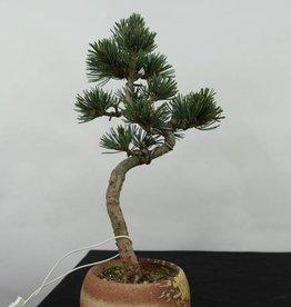Bonsai Pino bianco, Pinus pentaphylla, no. 7063