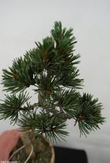 Bonsai Japanese White Pine, Pinus pentaphylla, no. 7063