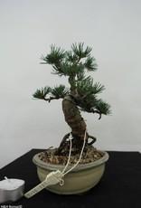 Bonsai Shohin Pino bianco, Pinus pentaphylla, no. 7064