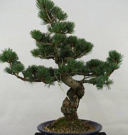 Bonsai Pino bianco, Pinus pentaphylla, no. 7068