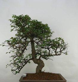 Bonsai Olmo cinese, Ulmus, no. 7071