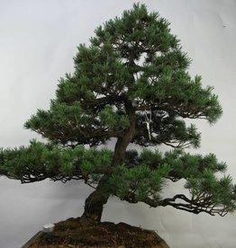 Bonsai Pino bianco, Pinus pentaphylla, no. 7072