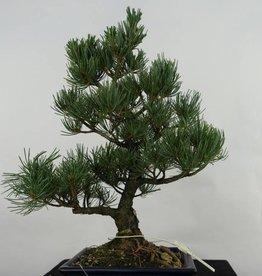 Bonsai Pino bianco, Pinus pentaphylla, no. 7074
