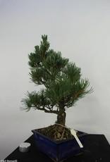 Bonsai Japanese White Pine, Pinus pentaphylla, no. 7074