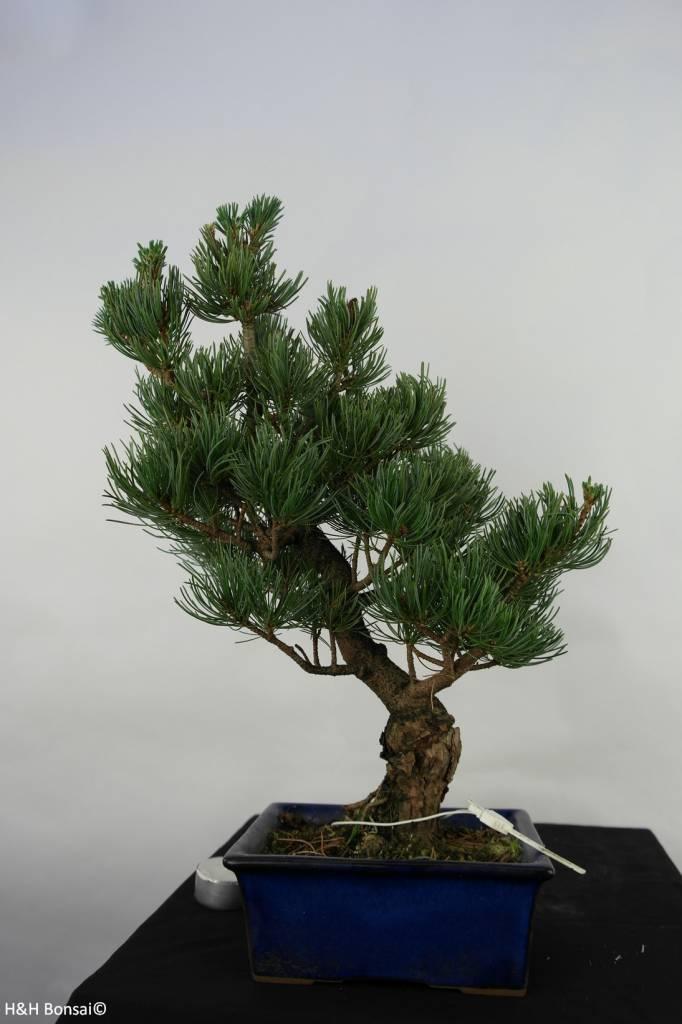 Bonsai Japanese White Pine, Pinus pentaphylla, no. 7075