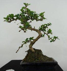Bonsai Pianta del tè,Carmona macrophylla, no. 7088